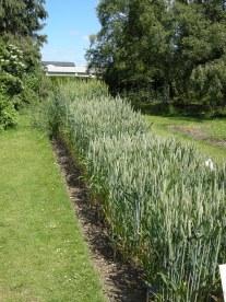 Wheat display