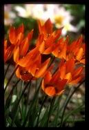 Tulipa orphanidea 'Whittalii'