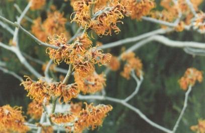Hamaelis, Winter Garden